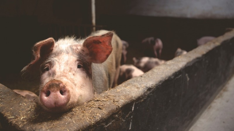 Phương pháp phòng tránh dịch tả lợn Châu phi hiệu quả -Nhựa Bình Thuận